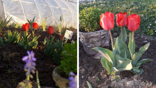 The tulips Amela planted in her garden still grow every year.