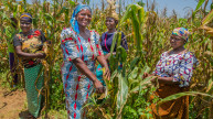 Programme participants on a demonstration farm in Nigeria, where they learn best practices for growing corn. Photo: Monilekan